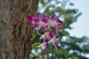 Orchid, Bangkok