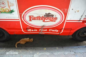 Thai Cat Under The Car, Bangkok