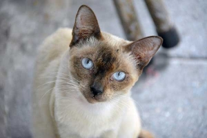Partially Siamese Cat, Bangkok Thailand