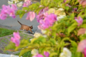 Thai Cat and Bougainvillea, Bangkok Thailand