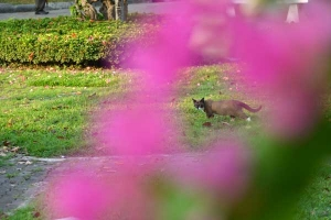 Thai Cat Through Bougainvillea, Bangkok Thailand