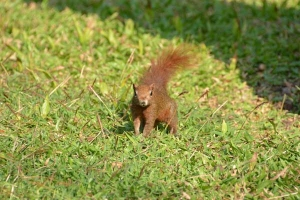 Squirrel, Bangkok Thailand