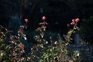 Winter Roses, Tokyo Japan