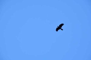 Crow Flying, Tokyo Japan