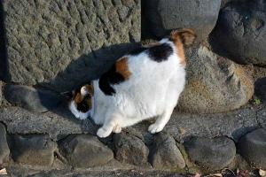 Japanese Bobtail Cat, Tokyo