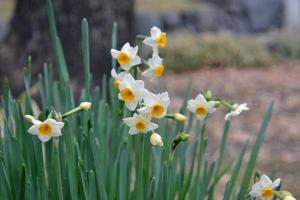Narcissus, January, Tokyo Japan