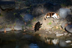 Park Cats Drinking Pond Water, Tokyo Japan