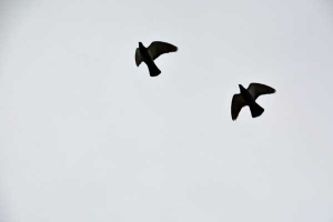 Two Pigeons Flying In Winter Sky