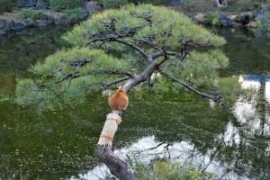 Park Cat Sitting On The Pine Tree, Tokyo Japan