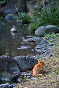 Park Cat and Ducks, Tokyo Japan