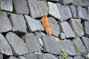 Park Cat On Stone Wall, Tokyo Japan