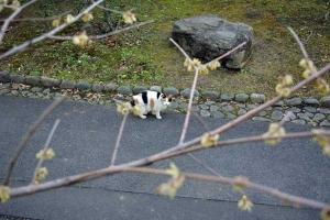 Park Cat and Wintersweet, Tokyo Japan
