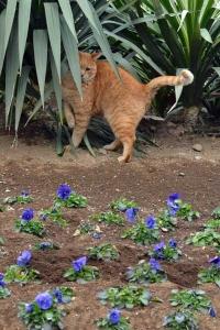 Park Cat and Pansies, Tokyo Japan