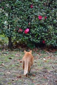 Park Cat and Camellia Sasanqua, Tokyo Japan