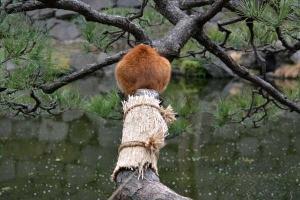 Park Cat On Pine Tree, Tokyo Japan