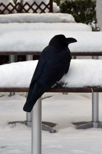 Crow and Snow