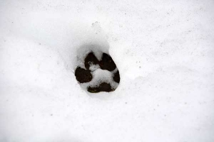 Cat Paw Print in The Snow