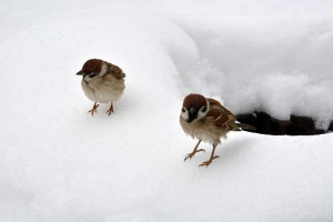 Sparrows On The Snow