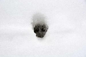 Cat Footprint In The Snow