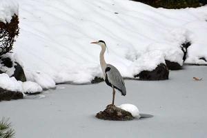Grey Heron and Snow