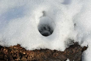 雪猫 Cat Paw Print Left on The Tree Stump