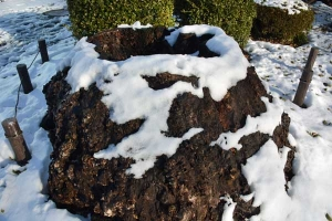 Snow Covered Tree Stump