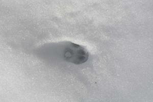 雪猫 Cat Paw Print in The Snow