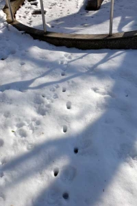 雪猫 Cat Footprints in The Snow