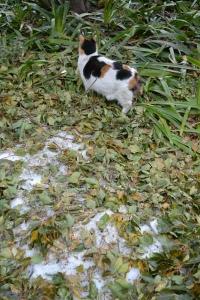 Tokyo Park Cat Sakura and Remnants of Snow