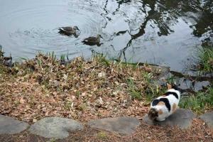 Tokyo Park Cat Sakura and Ducks