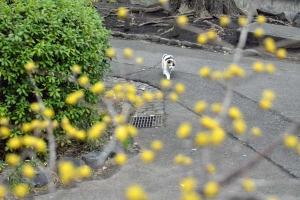 Tokyo Park Cat Sakura and Japanese Cornelian Cherry