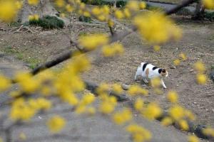 Tokyo Park Cat named Sakura and Spring Flowers