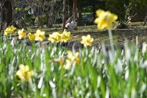 Tokyo Park Cat named Sakura and Narcissus