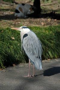 Tokyo Park Cat named Sakura and Grey Heron
