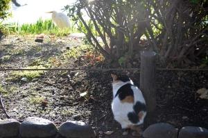 Tokyo Park Cat named Sakura Spying on Egret