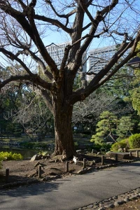 Winter Ginkgo Tree