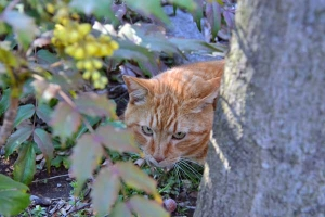Tokyo Park Cat and Mahonia japonica