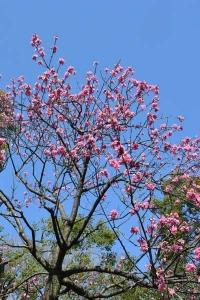 Hanamomo Peach Blossoms