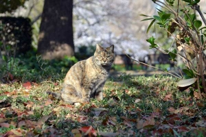 Tokyo Park Cat and Sakura Tree in The Background