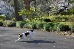Tokyo Park Cat named Sakura and Sakura Blossoms