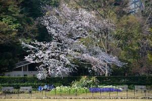 Sakura Tree (Cherry Blossoms)