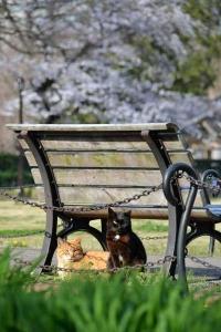 Tokyo Park Cats and Sakura Tree