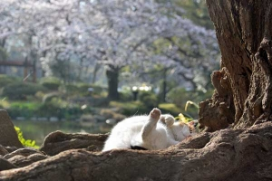 Sakura Cat named Sakura