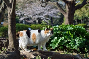Tokyo Park Cat named Sakura and Cherry Blossoms