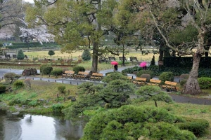 Tokyo Park in Sakura Season in The Rain