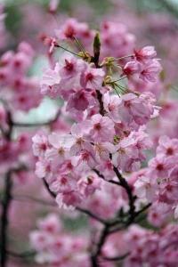 Yoko-Sakura Cherry Blossoms