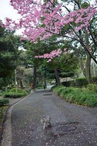 Tokyo Park Cat and Sakura Blossoms