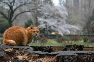 Tokyo Park Cat and Sakura Tree