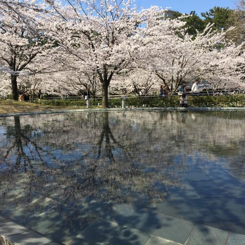 ほぼ満開、池もきれい