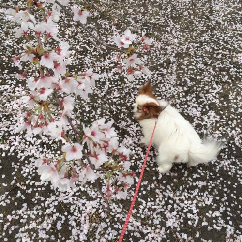 花びらの絨毯~